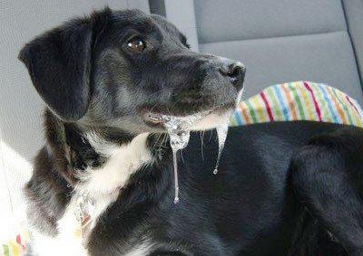 Почему у собаки в машине текут слюни