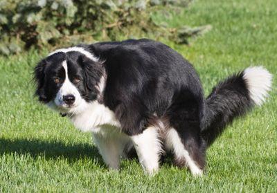 Запор у собаки: как помочь питомцу? - VashiPitomcy ru