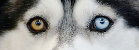 Какого цвета у хаски глаза