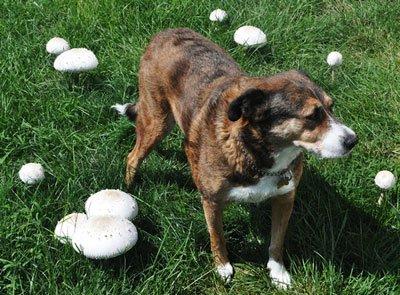 Можно ли собакам грибы