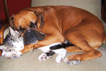 Коты защищают от собак