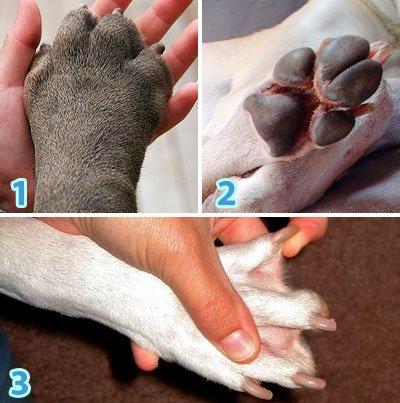 формы и размеры собачьих лапок