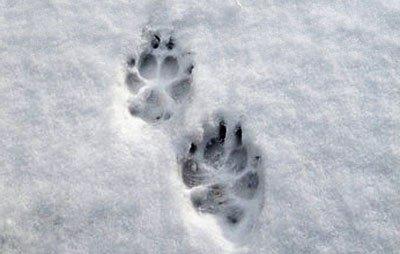 отпечаток собачьей лапы