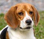 болезнь желчного пузыря у пса