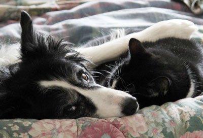бордер-колли и кошка