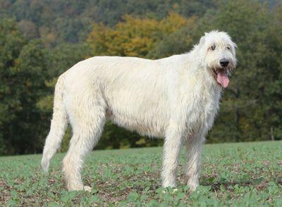 ирландский волкодав белый