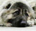 болезни кавказской овчарки