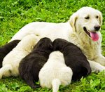 Корм для кормящих собак