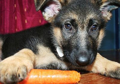 щенок грызёт морковку