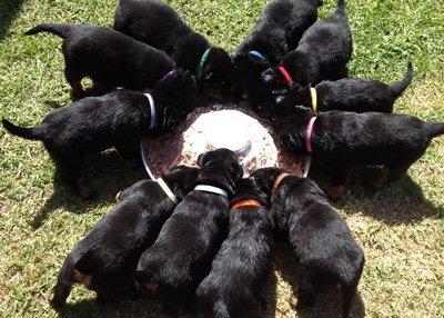 щенки едят