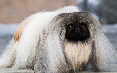порода китайских собак