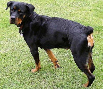 Карельская медвежья собака 4 буквы сканворд