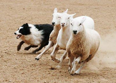 бордер колли пасет овец